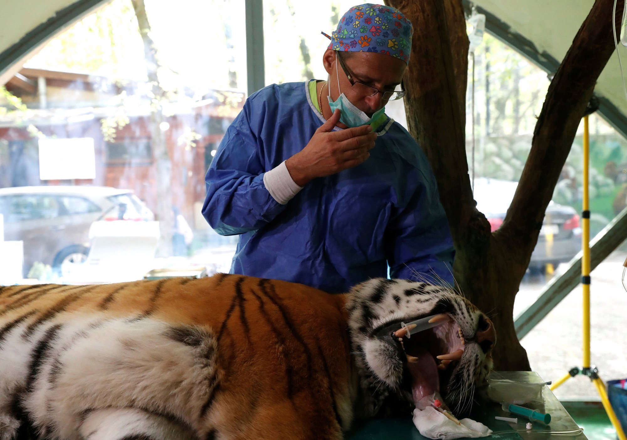 Siberian tiger receives stem-cell hip treatment in Hungary