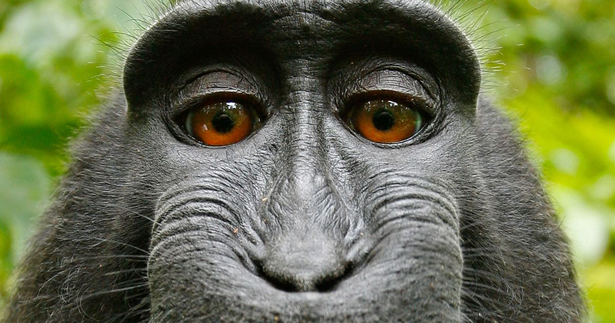 Court rules on whether monkey that took selfie can sue for copyright
