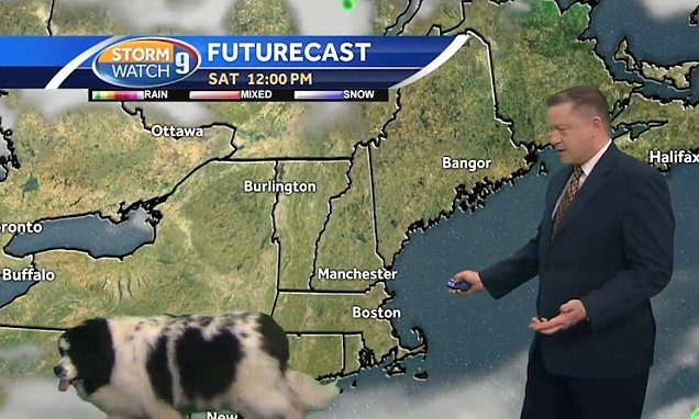 Oblivious dog strolls into a live weather forecast in New Hampshire