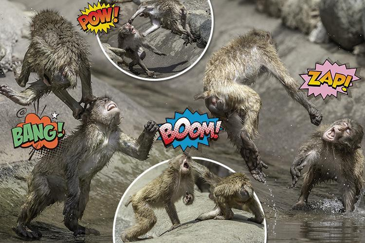 ritish photographer captures hilarious imagesof cheeky snow monkeys play fighting andthrowing human-like punches