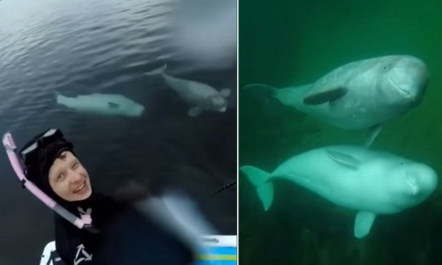 Incredible moment two Beluga whales greet a paddleboarder