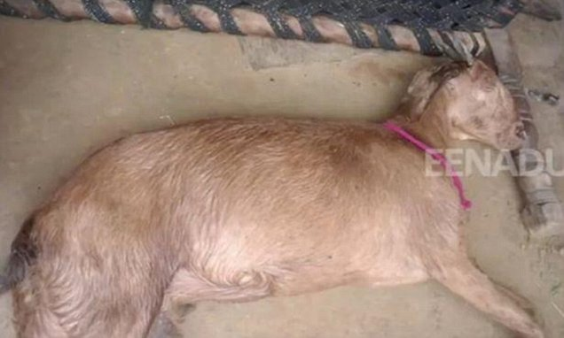 Eight men 'gang-rape a stolen pregnant goat to death' in India
