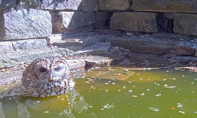 Tawny owl makes a rare daylight appearance to bathe in a pond