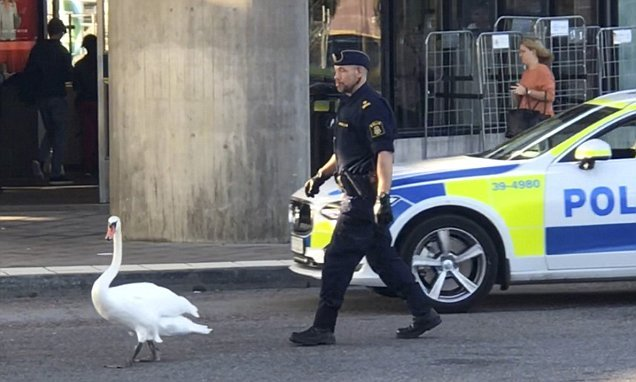Police officer chases swan out of rush-hour city traffic