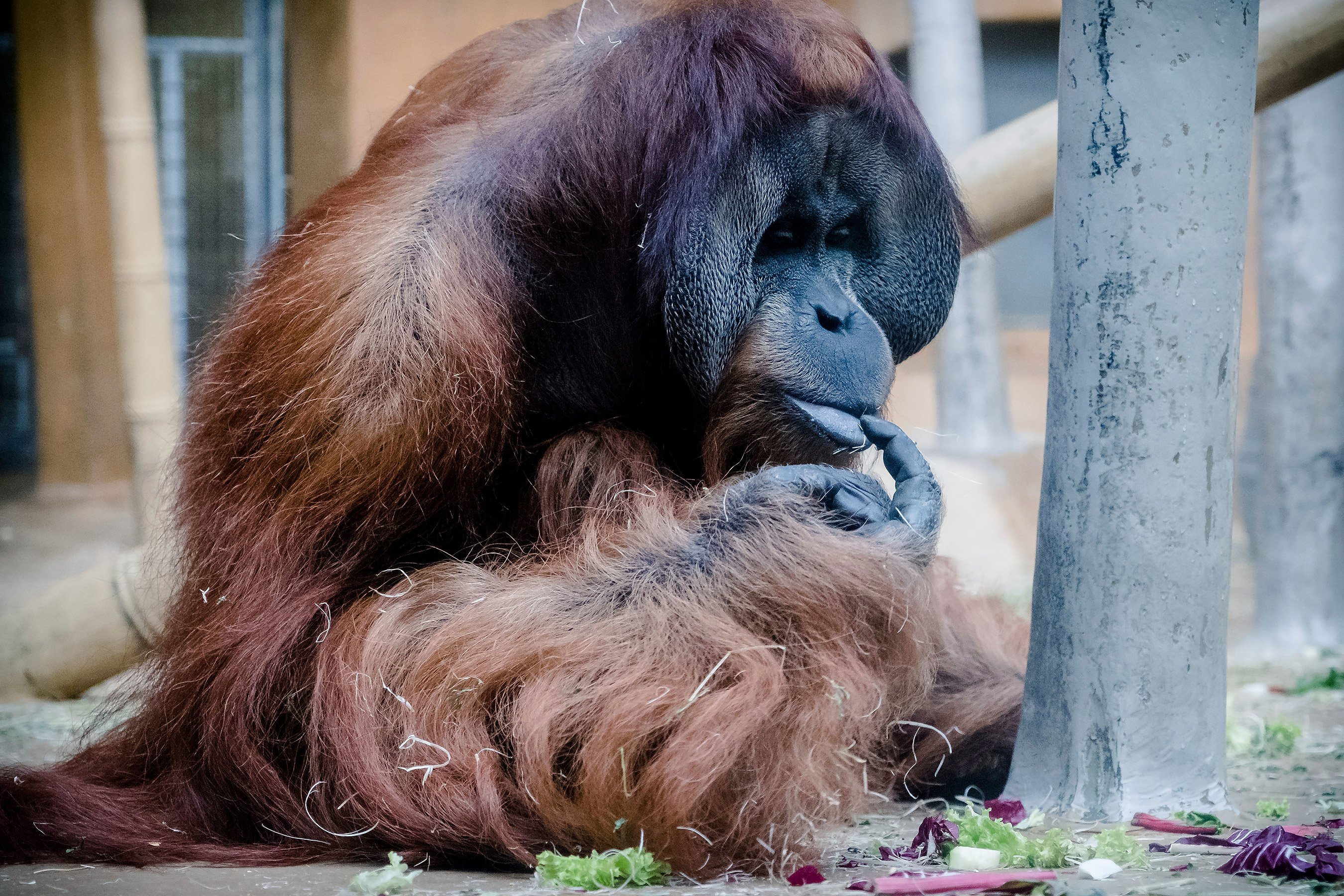 Zoo Orangutan Learning English for His Move from Germany to New Orleans