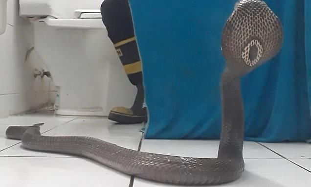 Fireman calmly shows how to escape king cobra armed only with a towel