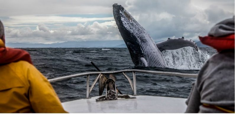 Humpback Whales' Haunting Songs Are Being Silenced By Human Activity