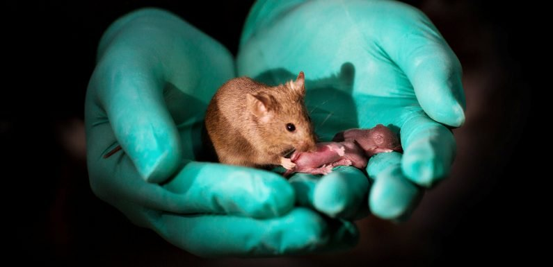 Mice born to same-sex parents in gene editing experiment
