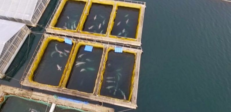 Evil 'whale jail' off Russian coast where orcas and belugas are 'tortured'