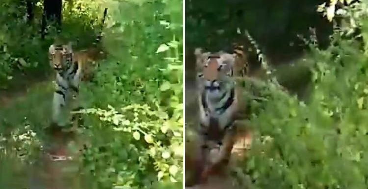 Terrifying moment tiger chases open-top car full of tourists on India safari as group scream at driver to speed up