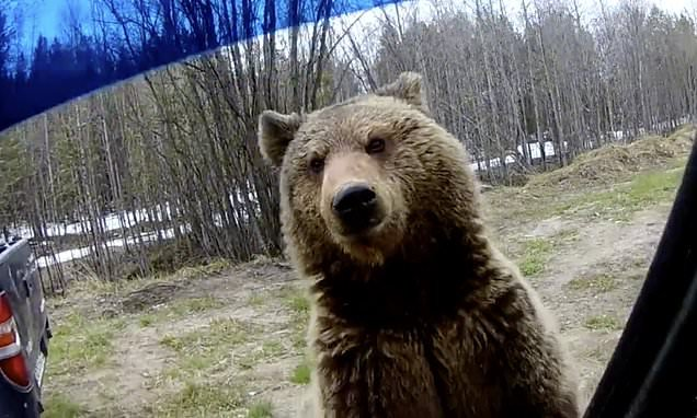 Nosey bear hunting for food is caught peering into a parked car