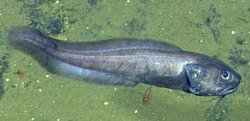 Bizarre deep-sea fish found living with 'virtually no oxygen'