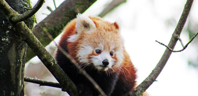 Red panda missing from Belfast Zoo as police warn public to be careful