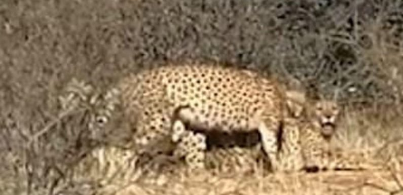 Cheetahs spotted 'having a threesome' at South Africa wildlife reserve