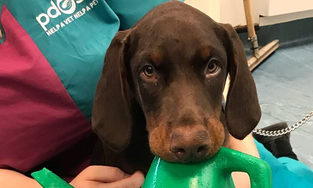 Adorable Doberman puppy gets mouth stuck in a watering can