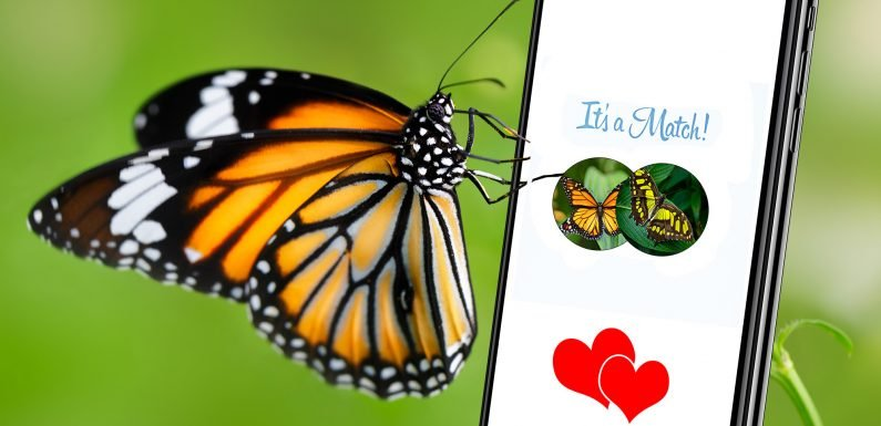 Butterflies look for themselves when picking partners