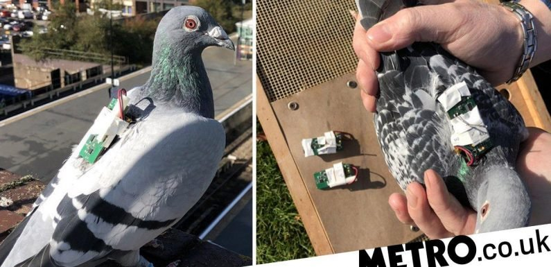 Scientists have recruited pigeons to help stop climate change