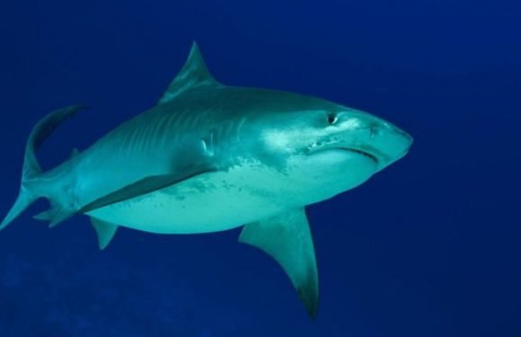 Shark attack: Hawaii beaches CLOSED after woman is hospitalised after tiger shark bite