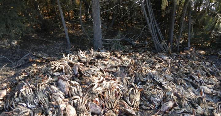 250 Dungeness crabs illegally dumped near northern B.C. highway