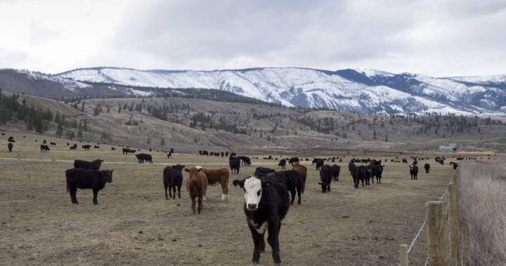 B.C. to enlist grazing cattle as latest wildfire prevention tool