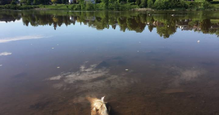'It's a big concern': Dozens of dead fish discovered in Moncton's Jones Lake
