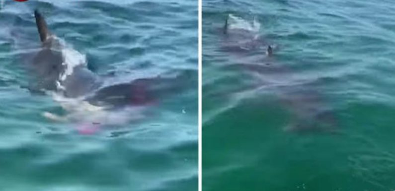 Great white shark attacks seal as water turns blood red in terrifying video