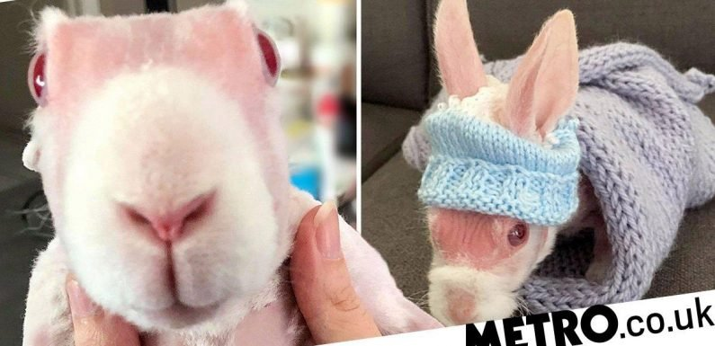 Rabbit born without fur thanks to rare genetic condition becomes Instagram celeb