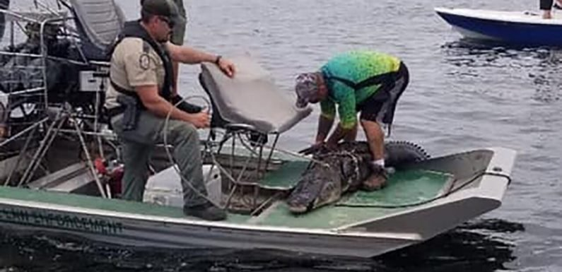15-foot Florida alligator caught after chasing swimmers near Gulf of Mexico, authorities say