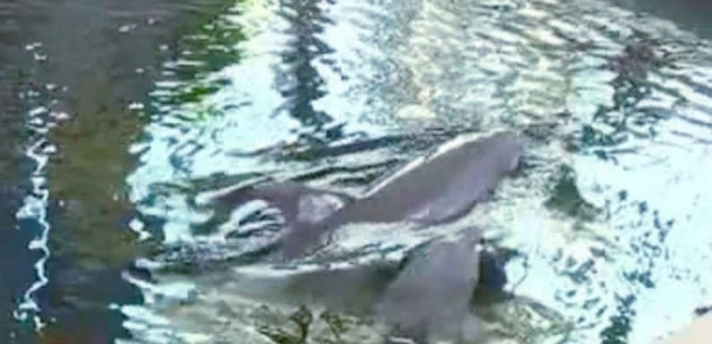 Horror as 'overworked' baby dolphin dies 'during performance' at water park