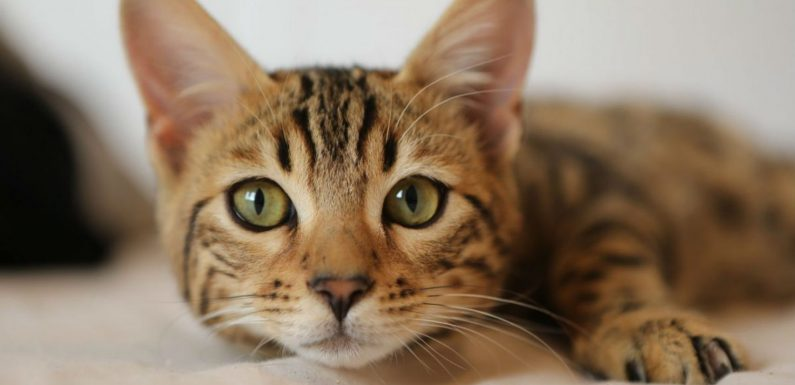 Science Confirms Your Cat Can Hear You Calling, But Is Choosing To Ignore You