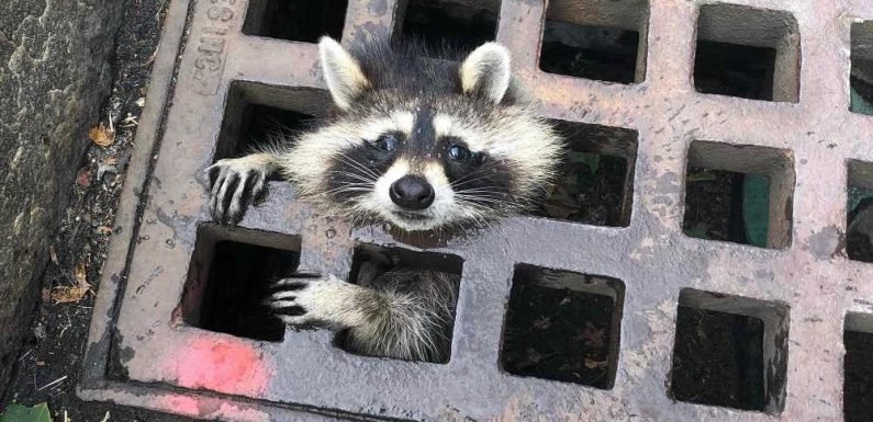 Raccoon freed from storm grate by 10 first responders in 2-hour ordeal