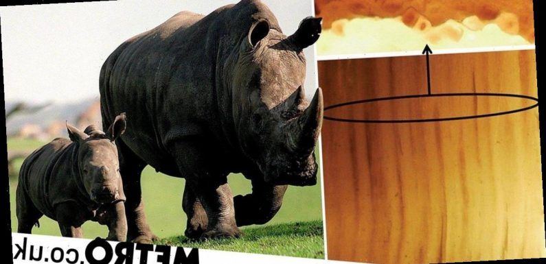 Fake rhino horns made from horse hair to be sold as sex-boosting aphrodisiacs