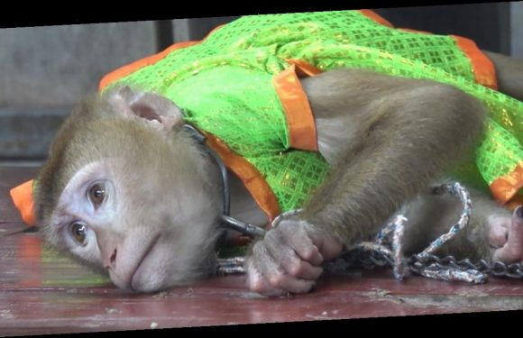 Monkeys filmed being chained up and forced to perform for Thailand tourists