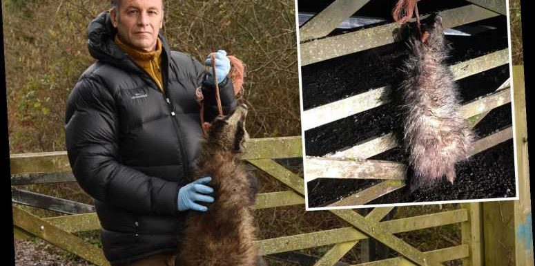 Sick thugs string up dead badger on TV star Chris Packham's front gate – but he won't stop wildlife campaigns – The Sun