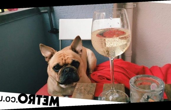 You definitely shouldn't let your dog drink wine