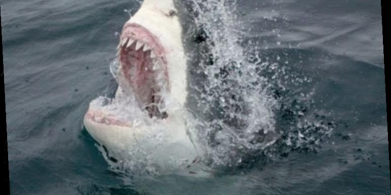Great white sharks aren't horror movie monsters, says photographer