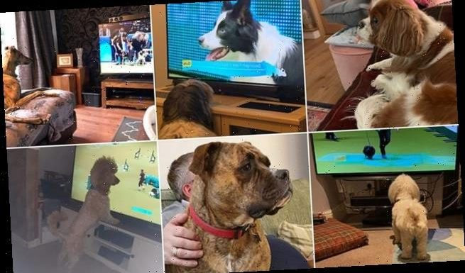 Dog owners share snaps of pets lapping up the action at Crufts on TV