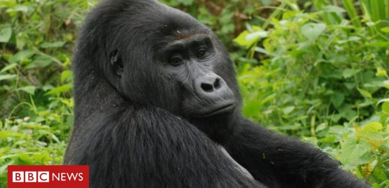 Rare gorilla Rafiki killed by Uganda hunters