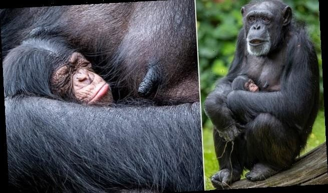 Chimpanzee cradles her newborn baby after giving birth at Chester Zoo