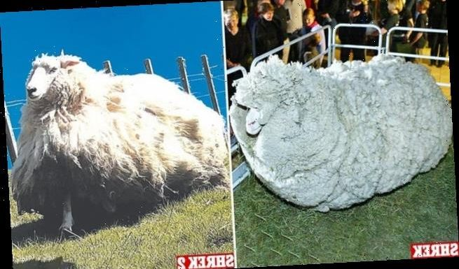 New Zealand shearer discovers enormous ram living near his station