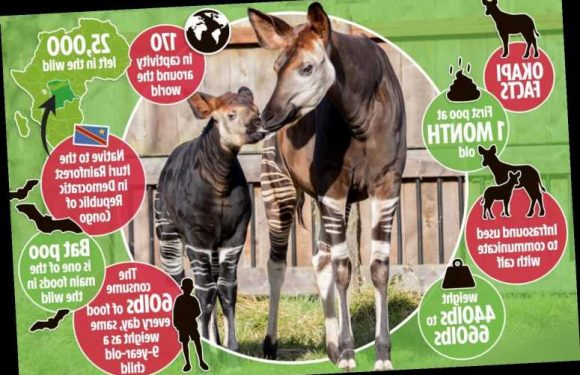 Inside London Zoo during lockdown as rare 'African Unicorn' prepares to give birth