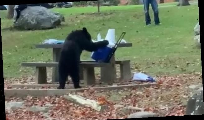 Black bear steals a picnic cooler from seating area in Tennessee park