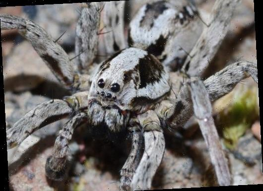 Giant 'extinct' spider which liquefies organs of its prey spotted in SURREY in first UK sighting for 27 years