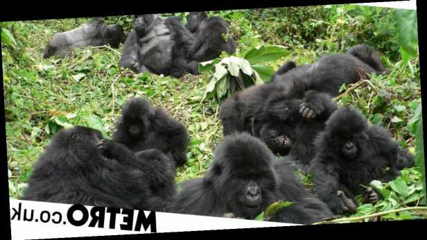 Mountain gorillas 'mirror' humans with kindness towards old friends