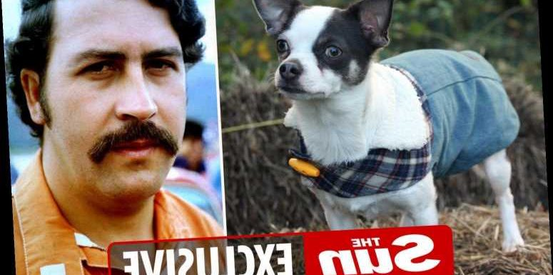 Chihuahua called Pablo Escobar slapped with dog control order for terrorising sheep