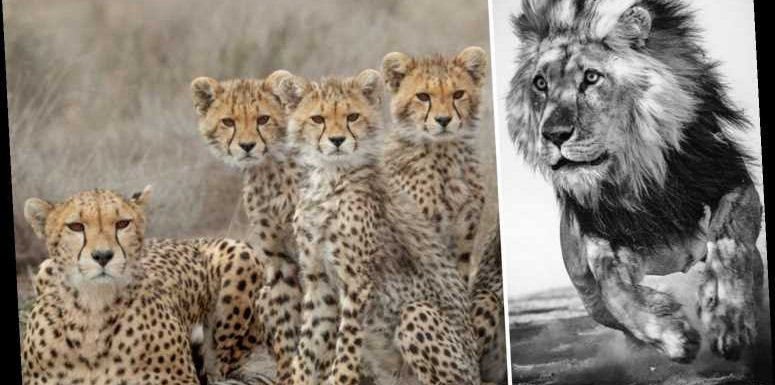 Incredible pics of charging lion, preying shark and cheeky cheetahs top shortlist for wildlife comp