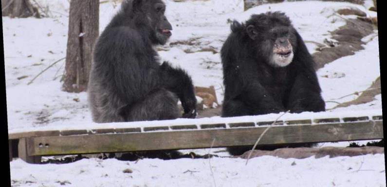 Playful Chimps at Georgia Sanctuary Enjoy the First Snowfall of the Season —See the Pictures!