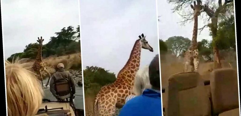 'Angry' giraffe charges at truck of tourists on safari, video shows: 'A scary adventure'