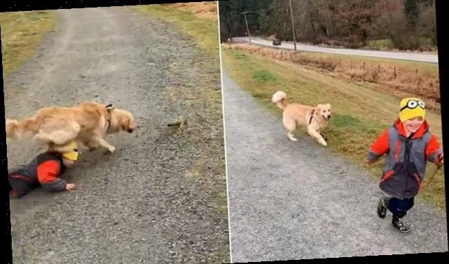 Retriever tackles boy and grabs stick from him during game of fetch