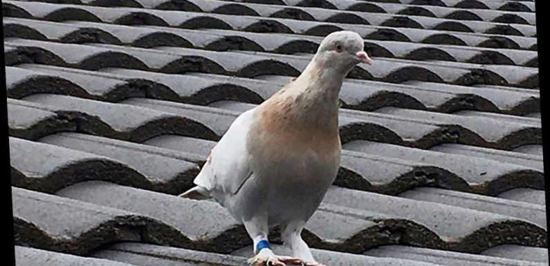 Racing pigeon that flew to Australia may be killed amid COVID-19 fears